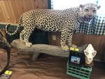 TIMED ONLINE AUCTION TAXIDERMY, FIREARMS, AMMO, HUNTING SUPPLIES, ETC  Auction Photo
